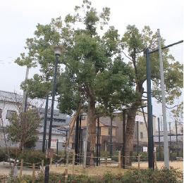 御蔵南公園【震災で焼けた楠木】